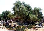 Gardens of Lun olives